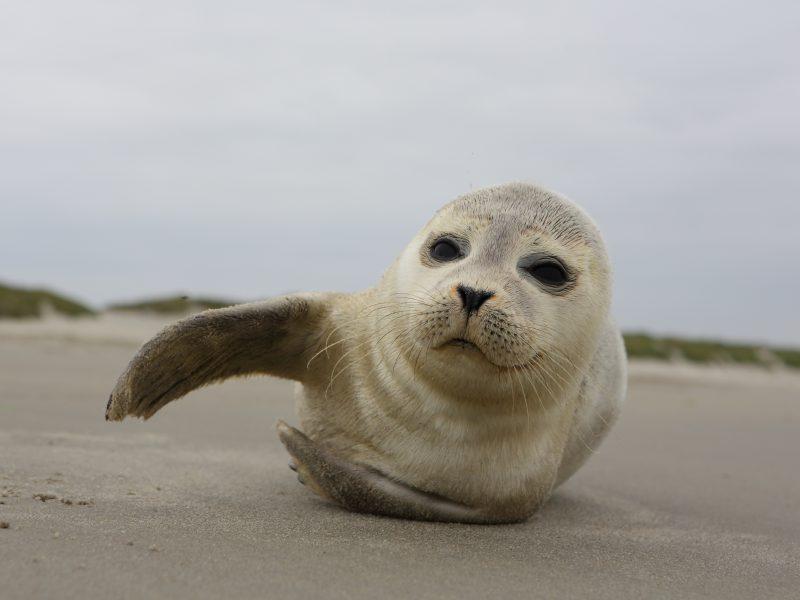 gewone zeehond op strand van Ameland
